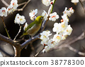 small bird, sclera, white plum blossoms 38778300