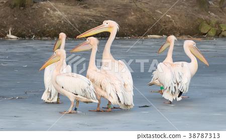 Pelican standing on ice 38787313
