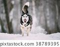 Siberian Husky Dog Running Outdoor In Snowy Field 38789395