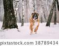 Caucasian Shepherd Dog Running Outdoor In Snowy 38789434