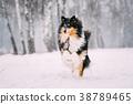 Funny Young Shetland Sheepdog, Sheltie, Collie 38789465