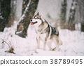 Siberian Husky Dog Walking Outdoor In Snowy Field 38789495