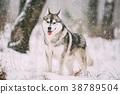 Siberian Husky Dog Walking Outdoor In Snowy Field 38789504