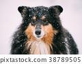 Close View Of Shetland Sheepdog, Sheltie, Collie 38789505