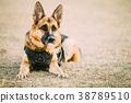 Brown German Sheepdog Alsatian Wolf Dog Wearing In 38789510