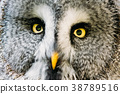 Close Up Face And Eyes Of Great Grey Owl Or Great 38789516