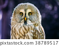 Close Up Head, Face Of Great Grey Owl Or Great 38789517