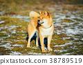 Beautiful Red Shiba Inu Puppy Dog Staying Outdoor 38789519