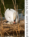 White Swan with Nest and Eggs 38790169