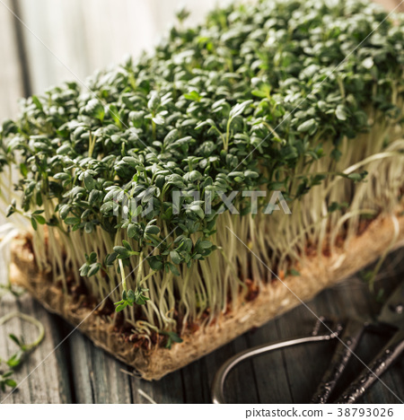 Garden cress, young plants. 38793026
