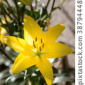 beautiful lily flower in bloom 38794448
