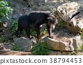 Malaysian bear (Helarctos malayanus) 38794453