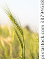 Barley grain hardy cereal growing in field 38794638