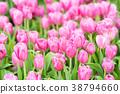 Pink tulips in the garden 38794660