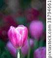 Purple tulips in the garden 38794661