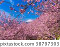 Kawazu櫻花盛開和富士山 38797303