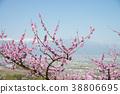 peach, flower, field 38806695