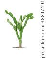 cactus isolated on white background 38807491