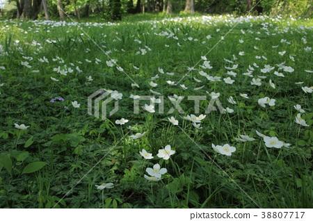在satoyama開花的兩輪草 38807717
