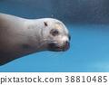 庫頁冷杉 北海獅 海洋生物 38810485