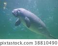 儒艮 海洋生物 海洋動物 38810490