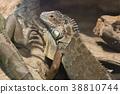 iguana, green, reptile 38810744