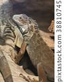 iguana, green, reptile 38810745