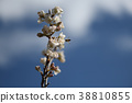 체리 꽃 38810855