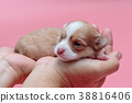 Newborn puppy Chihuahua sleeps on man's hand 38816406
