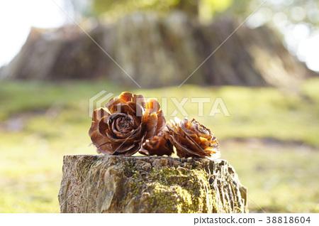 喜馬拉雅雪松錐(松果)像樹樁和玫瑰花瓣 38818604