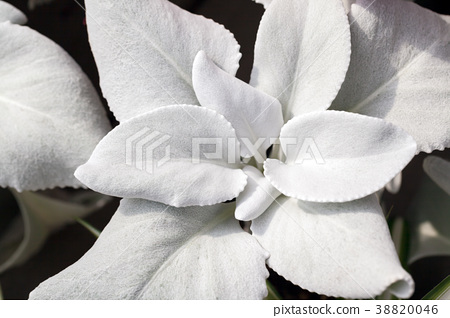 天使的翅膀,多肉植物,天使的翅膀 38820046
