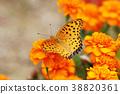 indian, fritillary, butterfly 38820361