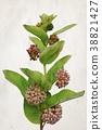 Watercolor Milkweed flowers 38821427