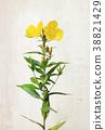 Watercolor Oenothera biennis flowers 38821429