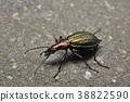 甲殼蟲 昆蟲 蟲子 38822590