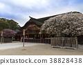 ume, Japanese apricot, shrine 38828438