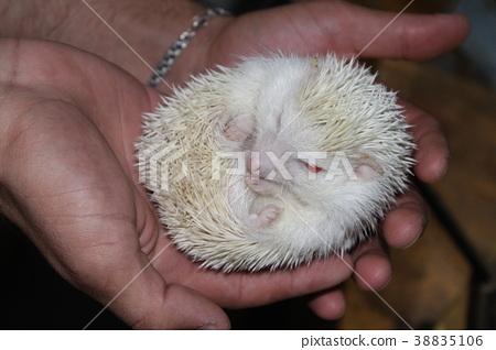 A beautiful white hedgehog 38835106