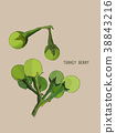 turkey berry (Solanum torvum)  vector. 38843216