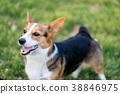 Pembroke Welsh Corgi in the dog park 38846975