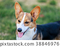 Pembroke Welsh Corgi in the dog park 38846976