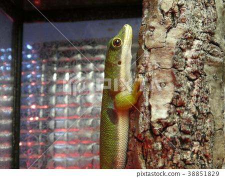 Yotsumehiru gecko 2 38851829