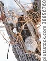 长尾林鸮 猫头鹰 冬天 38856760