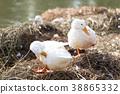 White ducks preening next to a pond or lake. 38865332