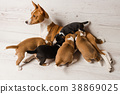 View from above of mother basenji feed her puppies 38869025