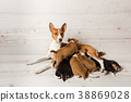 Mother basenji feed her puppies 38869028