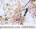 櫻花芽和花 38869881