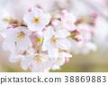 벚꽃 봉오리 그리고 꽃잎 38869883