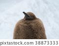 킹 펭귄 새끼 눈 배경 (아사히 야마 동물원) 38873333