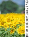 해바라기 밭 38873783