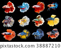 Collection of colorful Siamese fighting fish. 38887210